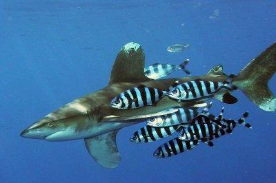 071913-SAMS-shark-pilotfish-blog-aan_t670